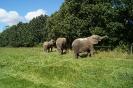 Elefanterne på fold ved cirkus 1